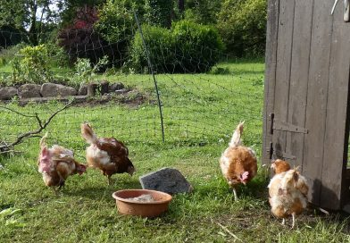 Rehomed battery chickens enjoying their freedom