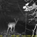 Deer stag on trail cam
