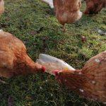 Chicken lockdown enrichment with plastic bottle