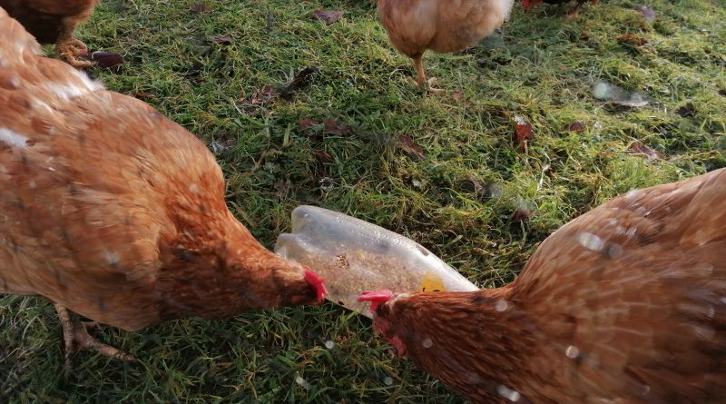 Chicken lockdown enrichment with plastic bottle